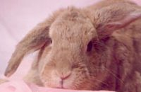 Thumper — the first bunny patient at Vetcetera to receive acupuncture and chiropractic treatments