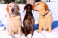 Goldens Tucker and Cody flank Cassie in the yard at the Brenda Fessler home.