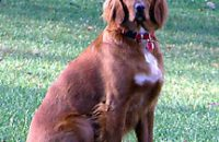 Katie Scarlett, Irish (Red) Setter